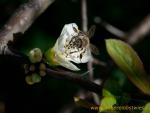 Biene auf Schlehenblüte