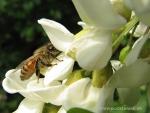Biene auf Robinienblüte