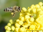 Biene im Anflug auf Mahonienblüte