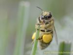 Biene mit Weidenpollen