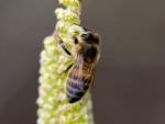 Biene auf Hasel