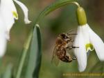 Biene auf Schneeglöckchen