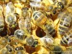 Bienen mit Rapspollen