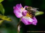 Biene auf Rose