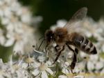 Biene auf Wiesenkerbel