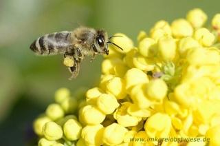 Biene im Anflug auf Mahonie