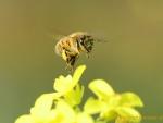 Biene auf Senf