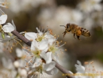 Biene im Anflug auf Schlehenblüte