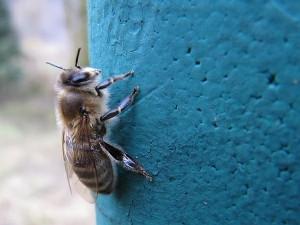 Biene ruht sich vom Reinigungsflug aus