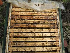 Stark überwintertes Bienenvolk