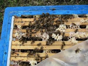 Schwach überwintertes Bienenvolk
