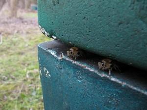 Neugierige Bienen am Flugloch