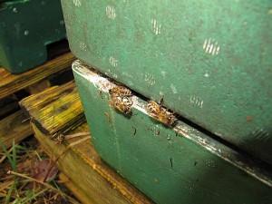 Bienen beim Reinigungsflug