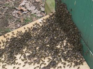 Abgefegte Bienen vor Nachbarbeute