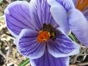 Biene sammelt auf Krokus