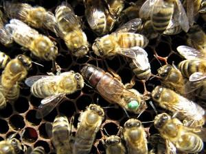 Bienenkönigin beim Eierlegen