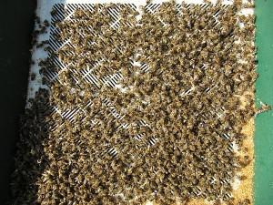 Wintertotenfall Bienenvolk