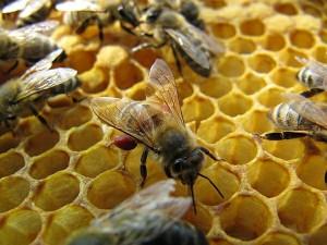 Biene mit Kastanienpollen