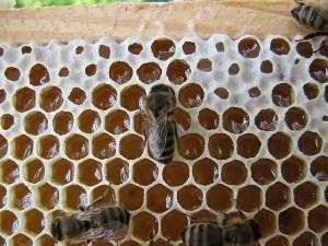 Honigwabe nur teilweise verdeckelt