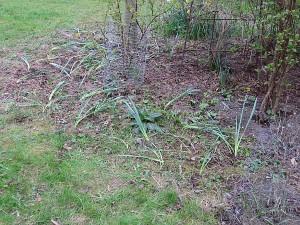 Gerade umgepflanzte Narzissen