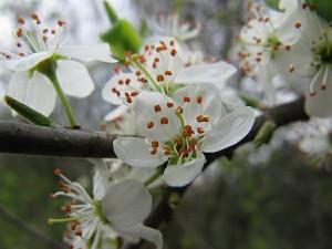 Schlehenblüte
