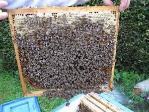 Eine Wabe voll mit Bienen