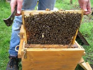 Verschulte Zelle auf Bienenwabe