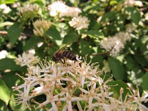Biene auf Hartriegelblüte