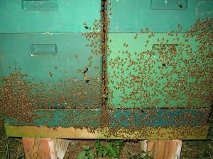 Bienenbart vor den Beuten