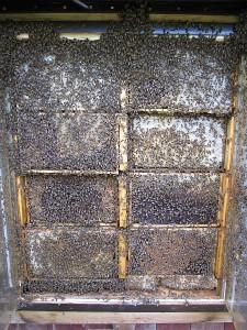 Unser überfüllter Bienenschaukasten