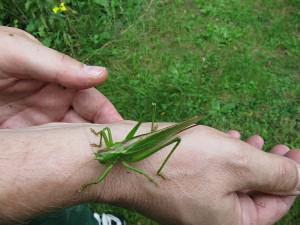 Grünes Heupferd auf dem Arm