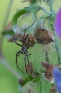 Spinne auf Nest