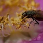 Fliege auf Rosenblüte