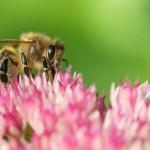 Biene auf Fetter Henne