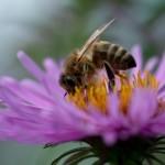Biene auf Herbstaster