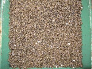 Tote Bienen im Beutenboden