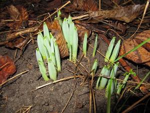 Narzissen begrüßen den Frühling