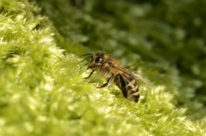 Biene sammelt Wasser