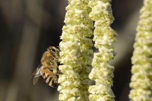 Biene sammelt Pollen an der Haselnuss