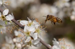 Flugaufnahme Biene auf Schlehenblüte