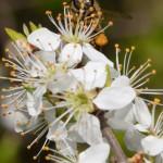 Ich sehe Dich - Biene hinter einer Schlehenblüte