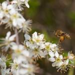 Biene mit dem Ziel Schlehenblüte - Nektar und Pollen im Auge