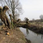 Kopfweiden am Mühlenbach