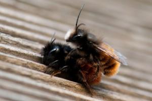 Mauerbiene bei der Paarung