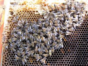 Letzte Bienen