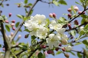 Apfelblüte hat begonnen