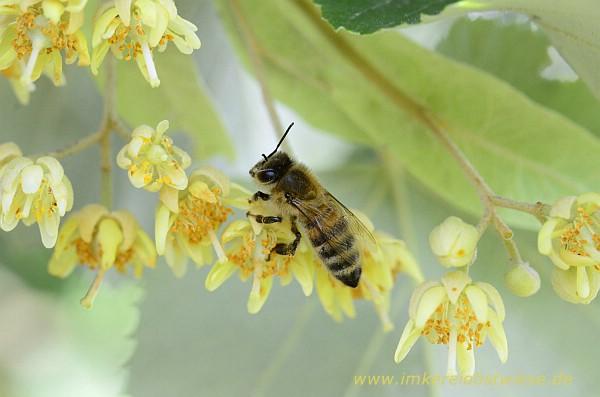 Erschöpfte Biene