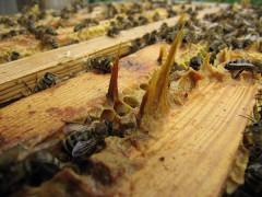 Propolis im Bienenstock