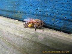 Bienen holen erste Pollen
