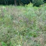 Wildblumenwiese_0768